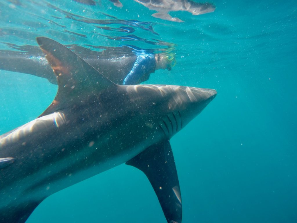 Swimming with Oceanic Black Tip sharks near Durban in South Africa