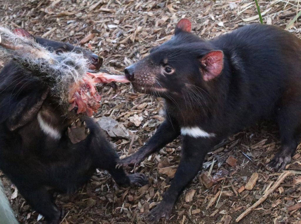 Feeding Tasmanian Devils a leg of meat at Bonorong Wildlife Sanctuary Tasmania